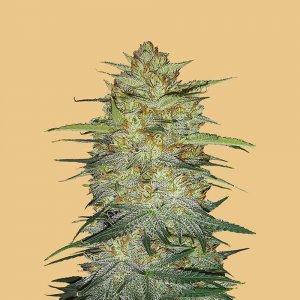 cannabis_kannabisz_seed_seeds_hanfsamen_kender_mag_fast_buds_original_og_kush_auto