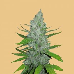 cannabis_kannabisz_seed_seeds_hanfsamen_kender_mag_fast_buds_original_sour_diesel_auto