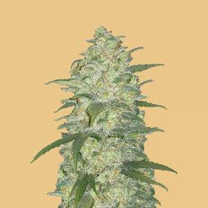 cannabis_kannabisz_seed_seeds_hanfsamen_kender_mag_fast_buds_original_white_widow_auto