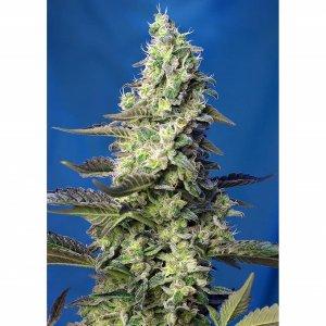 Sweet Seeds / AUTO / Green Poison XL