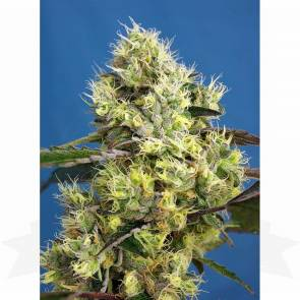 Sweet Seeds / AUTO / Sweet Gelato