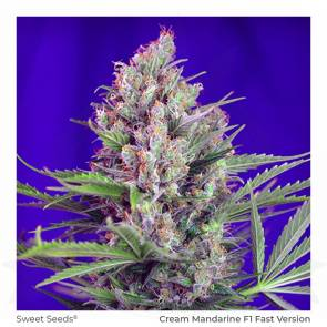 Sweet Seeds / FEM / Cream Mandarine F1